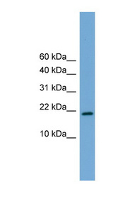 CITED4 antibody LS-C116074 Western blot of Mouse Heart lysate.  This image was taken for the unconjugated form of this product. Other forms have not been tested.
