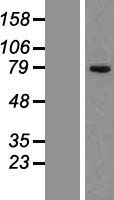 CKAP2 Protein - Western validation with an anti-DDK antibody * L: Control HEK293 lysate R: Over-expression lysate