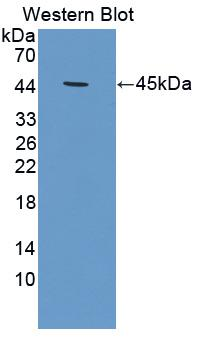 CKM / Creatine Kinase MM Antibody - Western Blot; Sample: Recombinant protein.