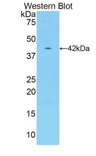 CKM / Creatine Kinase MM Antibody - Western blot of recombinant CKM / Creatine Kinase MM.  This image was taken for the unconjugated form of this product. Other forms have not been tested.