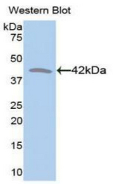 Western blot of recombinant CKM / Creatine Kinase MM.  This image was taken for the unconjugated form of this product. Other forms have not been tested.