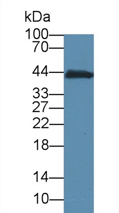 Western Blot; Sample: Mouse Small intestine lysate; Primary Ab: 5µg/ml Mouse Anti-Mouse CKM Antibody Second Ab: 0.2µg/mL HRP-Linked Caprine Anti-Mouse IgG Polyclonal Antibody