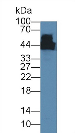 Western Blot; Sample: Mouse Cerebrum lysate; Primary Ab: 5µg/ml Mouse Anti-Rat CKM Antibody Second Ab: 0.2µg/mLHRP-Linked Caprine Anti-Mouse IgG Polyclonal Antibody