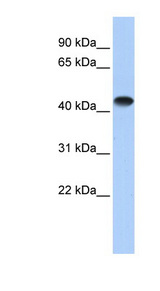 CKM antibody LS-C101917 Western blot of Fetal Heart lysate.  This image was taken for the unconjugated form of this product. Other forms have not been tested.