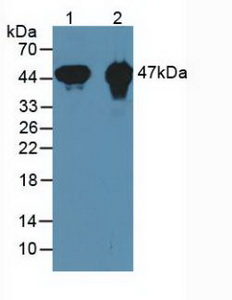 CKMT1A Antibody - Western Blot; Samples:Lane1: Mouse Heart Tissue; Lane2: Rat Heart Tissue.