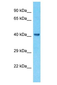 CKMT1B antibody Western Blot of RPMI-8226. Antibody dilution: 1 ug/ml.  This image was taken for the unconjugated form of this product. Other forms have not been tested.