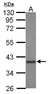 Sample (30 ug of whole cell lysate) A: Jurkat 10% SDS PAGE CKMT1B antibody diluted at 1:1000