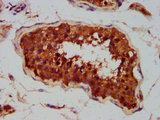 Immunohistochemistry Dilution at 1:400 and staining in paraffin-embedded human testis tissue performed on a Leica BondTM system. After dewaxing and hydration, antigen retrieval was mediated by high pressure in a citrate buffer (pH 6.0). Section was blocked with 10% normal Goat serum 30min at RT. Then primary antibody (1% BSA) was incubated at 4°C overnight. The primary is detected by a biotinylated Secondary antibody and visualized using an HRP conjugated SP system.