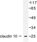 Western blot of Claudin 10 (N217) pAb in extracts from LOVO.