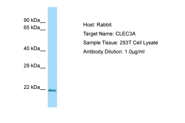 CLEC3A Antibody -  This image was taken for the unconjugated form of this product. Other forms have not been tested.