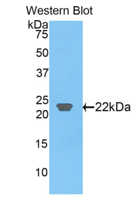 Western blot of recombinant CLEC3B / Tetranectin.  This image was taken for the unconjugated form of this product. Other forms have not been tested.