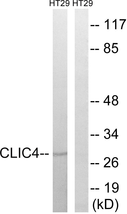 Western blot analysis of lysates from HT-29 cells, using CLIC4 Antibody. The lane on the right is blocked with the synthesized peptide.