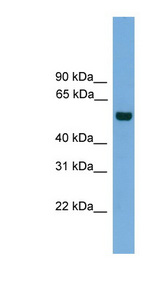 CLK1 antibody Western blot of 293T cell lysate. This image was taken for the unconjugated form of this product. Other forms have not been tested.