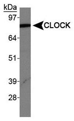 CLOCK Antibody - CLOCK Antibody - Western blot of CLOCK in human brain protein.  This image was taken for the unconjugated form of this product. Other forms have not been tested.