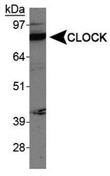 CLOCK Antibody - CLOCK Antibody - Western blot of CLOCK in Sol8 (mouse embryo fibroblast) cell extracts.  This image was taken for the unconjugated form of this product. Other forms have not been tested.
