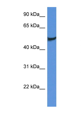 CLU / Clusterin antibody LS-C135929 Western blot of Fetal Brain lysate. Antibody concentration 1 ug/ml.  This image was taken for the unconjugated form of this product. Other forms have not been tested.