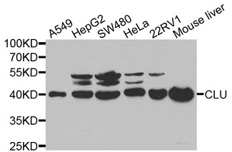 Western blot analysis of extracts of various cell lines, using CLU antibody at 1:1000 dilution. The secondary antibody used was an HRP Goat Anti-Rabbit IgG (H+L) at 1:10000 dilution. Lysates were loaded 25ug per lane and 3% nonfat dry milk in TBST was used for blocking.
