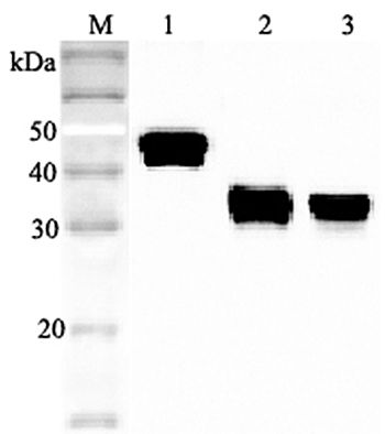 Western blot analysis using anti-Clusterin (human), pAb at 1:2000 dilution. 1: Human Clusterin (His-tagged). 2: Human secretory Clusterin (FLAG-tagged). 3: Human serum (1 ul).