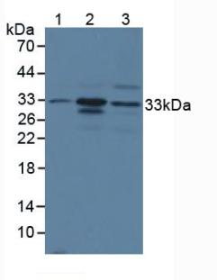 Western Blot; Sample: Lane1: Mouse Large Intestine Tissue; Lane2: Mouse Testis Tissue; Lane3: Human PC-3 Cells.