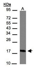 Sample (30 ug of whole cell lysate). A: Hep G2. 12% SDS PAGE. CMTM6 / CKLFSF6 antibody diluted at 1:1000