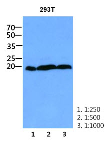 Western Blot: The cell lysate of 293T (30 ug) were resolved by SDS-PAGE, transferred to PVDF membrane and probed with anti-human CNBP antibody (1:250 - 1:1000). Proteins were visualized using a goat anti-mouse secondary antibody conjugated to HRP and an ECL detection system.