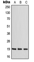 Western blot analysis of ZNF9 expression in MCF7 (A); NIH3T3 (B); Raw264.7 (C) whole cell lysates.