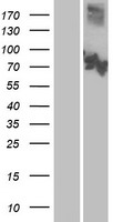 CNGA3 Protein - Western validation with an anti-DDK antibody * L: Control HEK293 lysate R: Over-expression lysate