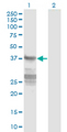 Western blot of CNN3 expression in transfected 293T cell line by CNN3 monoclonal antibody (M01), clone 4C4.