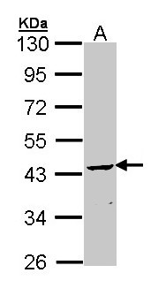 Sample (30 ug of whole cell lysate). A: Molt-4. 10% SDS PAGE. CNP antibody diluted at 1:1000.