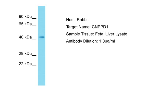 CNPPD1 Antibody -  This image was taken for the unconjugated form of this product. Other forms have not been tested.