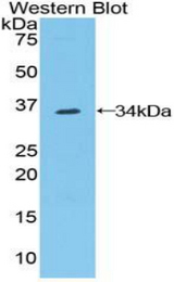 Western blot of recombinant CNTN1 / gp135 / Contactin 1.  This image was taken for the unconjugated form of this product. Other forms have not been tested.