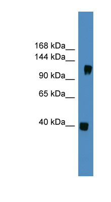 CNTN1 / Contactin 1 antibody Western blot of Fetal Brain lysate. This image was taken for the unconjugated form of this product. Other forms have not been tested.