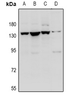 Western blot analysis of Contactin 1 expression in A549 (A), HEK293T (B), C6 (C), MEF (D) whole cell lysates.