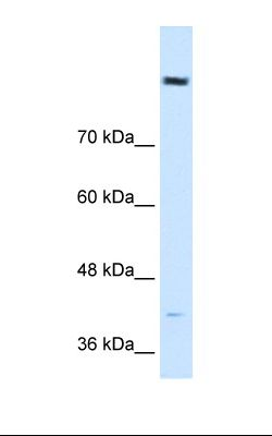HepG2 cell lysate. Antibody concentration: 0.5 ug/ml. Gel concentration: 8%.  This image was taken for the unconjugated form of this product. Other forms have not been tested.