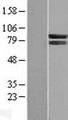 COG7 Protein - Western validation with an anti-DDK antibody * L: Control HEK293 lysate R: Over-expression lysate
