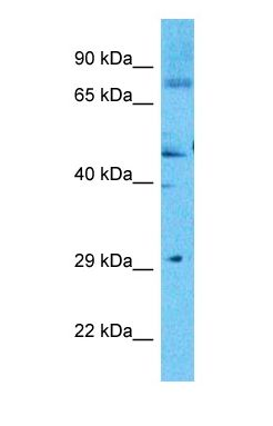 Western blot of CODA1 Antibody with human 786-0 Whole Cell lysate.  This image was taken for the unconjugated form of this product. Other forms have not been tested.