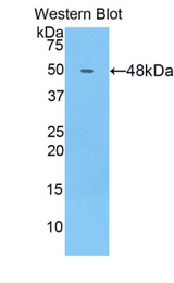 Western blot of recombinant COL14A1 / Collagen XIV.  This image was taken for the unconjugated form of this product. Other forms have not been tested.
