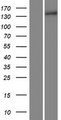 COL15A1 / Collagen XV Alpha 1 Protein - Western validation with an anti-DDK antibody * L: Control HEK293 lysate R: Over-expression lysate