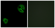 Immunofluorescence analysis of A549 cells, using Collagen XIX alpha1 Antibody. The picture on the right is blocked with the synthesized peptide.