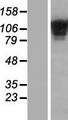 COL19A1 / Collagen XIX Protein - Western validation with an anti-DDK antibody * L: Control HEK293 lysate R: Over-expression lysate