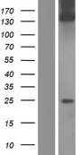 COL1A1 / Collagen I Alpha 1 Protein - Western validation with an anti-DDK antibody * L: Control HEK293 lysate R: Over-expression lysate