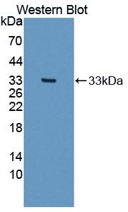 Western blot of COL1A2 / Collagen I Alpha 2 antibody.