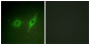 Immunofluorescence analysis of HeLa cells, using Collagen IV alpha2 Antibody. The picture on the right is blocked with the synthesized peptide.