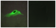 Immunofluorescence analysis of HeLa cells, using Collagen IV alpha5 Antibody. The picture on the right is blocked with the synthesized peptide.