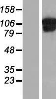 COL6A1 / Collagen VI Alpha 1 Protein - Western validation with an anti-DDK antibody * L: Control HEK293 lysate R: Over-expression lysate