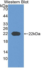 Western blot of recombinant COL6A3 / Collagen VI.