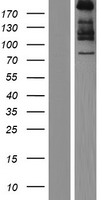 COL7A1 / Collagen VII Protein - Western validation with an anti-DDK antibody * L: Control HEK293 lysate R: Over-expression lysate