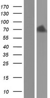 COL9A2 Protein - Western validation with an anti-DDK antibody * L: Control HEK293 lysate R: Over-expression lysate