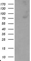 Complement C1R Antibody - HEK293T cells were transfected with the pCMV6-ENTRY control (Left lane) or pCMV6-ENTRY C1R (Right lane) cDNA for 48 hrs and lysed. Equivalent amounts of cell lysates (5 ug per lane) were separated by SDS-PAGE and immunoblotted with anti-C1R.