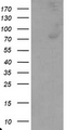 HEK293T cells were transfected with the pCMV6-ENTRY control (Left lane) or pCMV6-ENTRY C1R (Right lane) cDNA for 48 hrs and lysed. Equivalent amounts of cell lysates (5 ug per lane) were separated by SDS-PAGE and immunoblotted with anti-C1R.